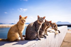 The Cat Islands of Japan